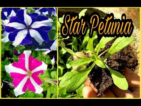 How To Grow Star Petunia From Seeds With Update