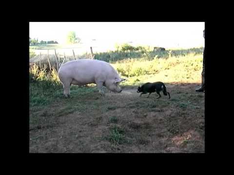 Working Kelpie Gandixa Jedda and the pig - 15 kilos vs 300 kilos.