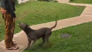 This Video Previously Contained A Copyrighted Audio Track. Due To A Claim By A Copyright Holder, The Audio Track Has Been Muted.     Pitbull Doberman Mix Ability