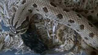 Anaconda Western hognose snake taking a mouse