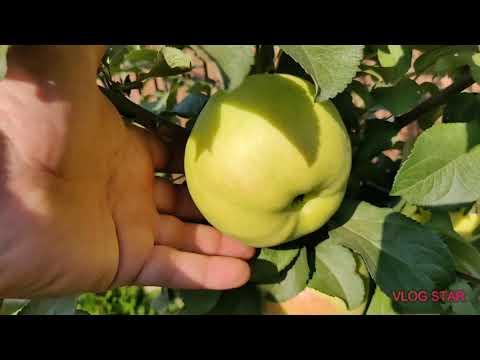 Сорт яблони Богатырь в Московской области. Саженцы яблони.   обыкновенная   беркутовское   богатырь   саженцы   посадка   яблоня   яблони   сорта   обзор   лобо