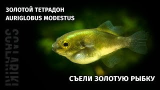 Золотой тетрадон. Содержание в аквариуме