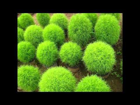 Кохия: выращивание из семян и уход за растениями, посадка