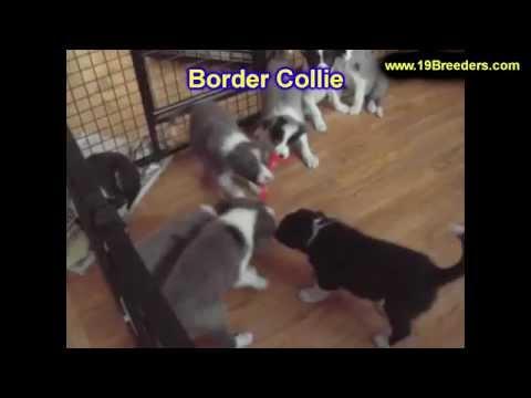 Border Collie, Puppies, For, Sale, In, Anchorage, Alaska,AK, Fairbanks, Juneau, Eagle River