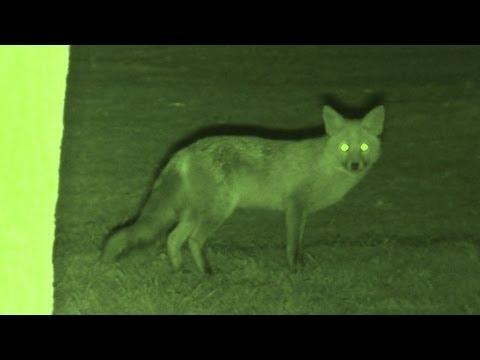 Foxing - Brilliant HD night vision fox shooting - YouTube