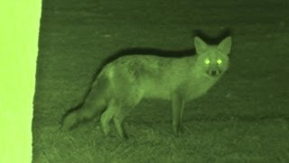 Foxing - Brilliant HD night vision fox shooting