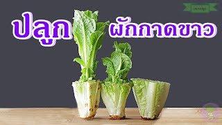 วิธีปลูกผักกาดขาว