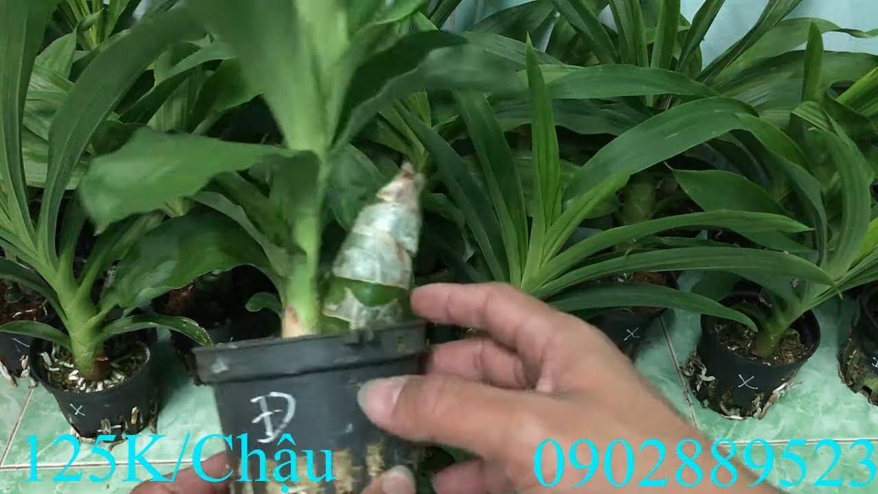 Bán Lan Thiên Nga Giống LH Zalo 0902889523! 8/2