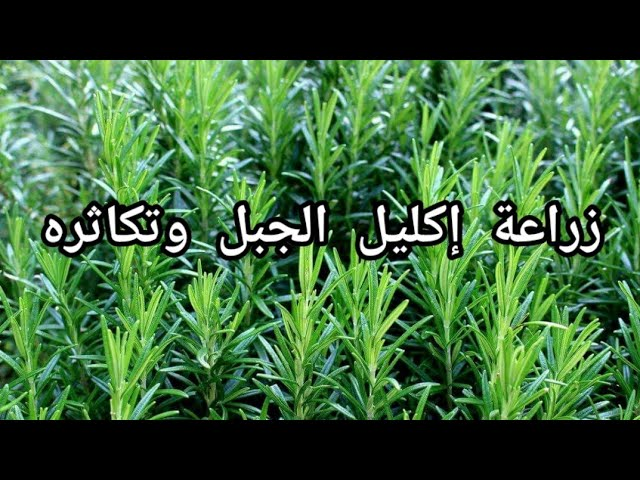 زراعة إكليل الجبل في المنزل Planting Rosemary At Home Youtube