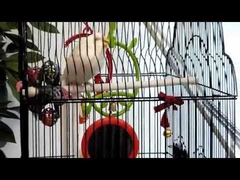 african lovebirds breeding season