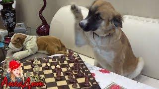 Анекдот Шах и Мат Очень смешной анекдот про животных Смешно до слез