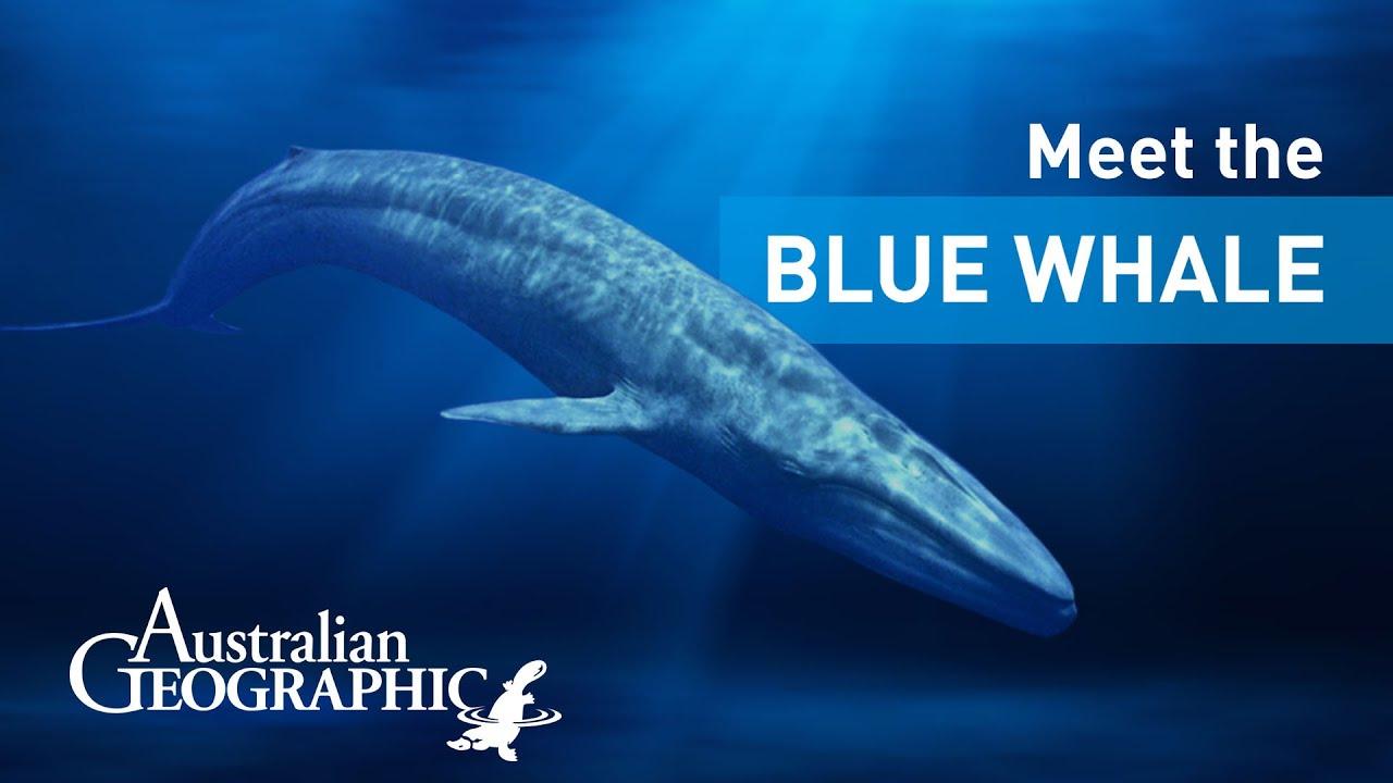 Meet the Pygmy Blue Whale | AusGeoShop - YouTube