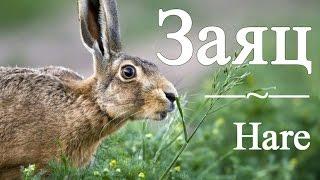 Заяц — Hare