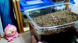 幼虫を飼うのは初めてなので.