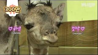 태어나자마자 키 180cm 찍은 아기기린ㅋㅋ근데 엄빠는 쀼의 세계 찍네.. l Incredible! Birth Scene Of A Baby Giraffe Born