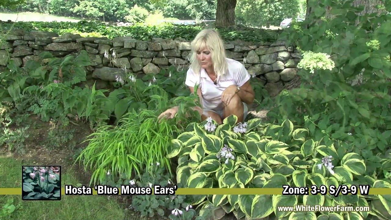 Hosta Blue Mouse Ears Youtube