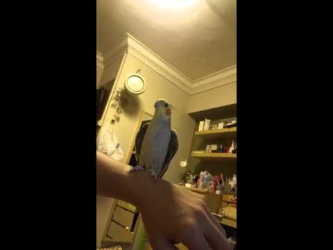 Cockatiel Whistling Chocobo theme
