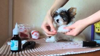 Уход за щенком бивером или йорком: гигиенические процедуры