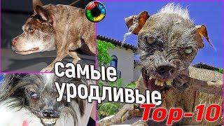 Топ-10 самых уродливых собак #собака,#конкурс,#уродство,#топ10
