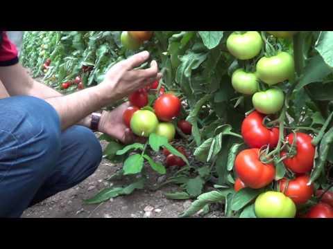 kumluca  domates üretimi  killi toprak düzenleme  verimlilik  toprak nemi  toprak havası