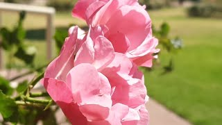 Flower Power Chat - Mornington Peninsula Rose Gardens