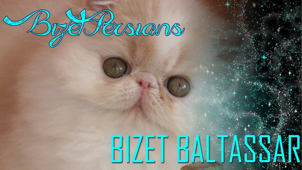 Bizet Baltassar Cuccioli Gatto Persiano Allevamento Bizet Persians