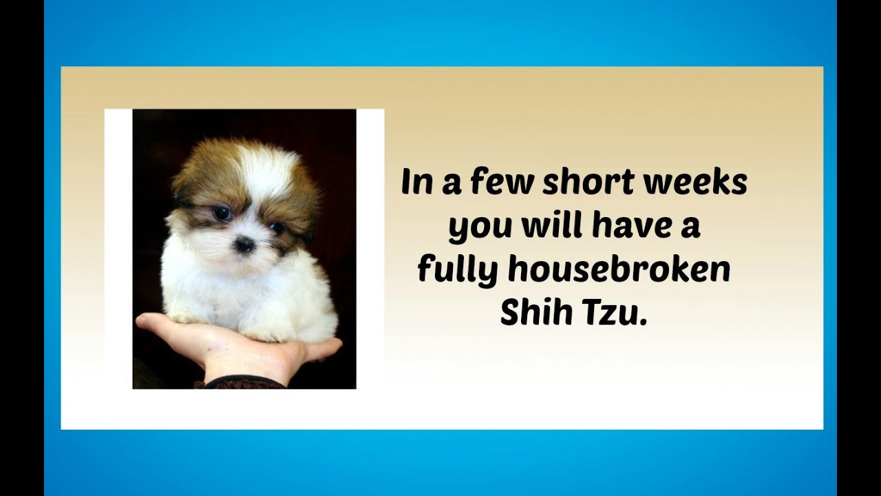 Potty Training Your Shih Tzu Puppy: 4 Different