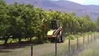 Mango Trees Pruning Australia