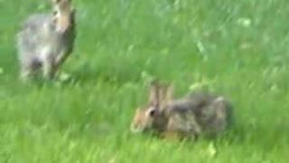 Wild rabbit behaviors