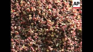 A look at Sichuan's famous peppercorns