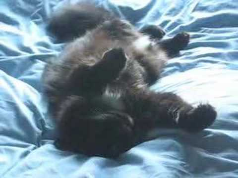 Norwegian Forest Cat : Peeky Bear Relaxing