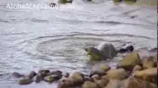 Female Hawaiian monk seal fight with male for protect pup - Aloha Magazine