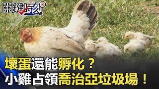 「壞蛋」還能孵化?千隻黃色小雞占領「喬治亞垃圾場」!! 關鍵時刻 20180612-6 朱學恒 黃創夏