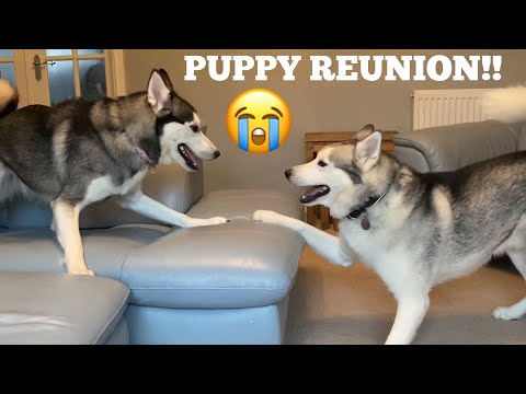 Huskies Reunion With His Husky Puppy!! [TRY NOT TO SMILE!!]