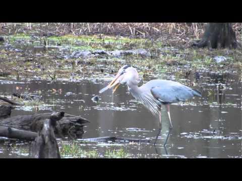 Great Blue Heron versus Catfish - April 11, 2013