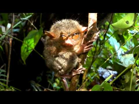 Tarsier after the rain