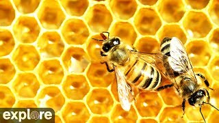 Honey Bees - Landing Zone powered by EXPLORE.org thumbnail