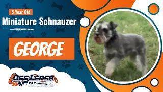 Miniature Schnauzer, 5 years old, George | Best Miniature Schnauzer Dog Training  | Off Leash K9