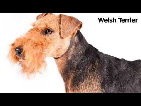 Welsh Terrier - medium-sized dog breed