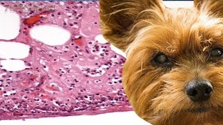 Перитонит у собак | Причины | Симптомы | Лечение.