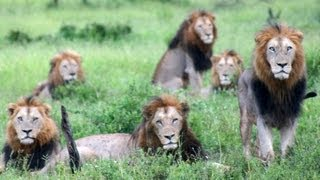 6 Male Lions Together