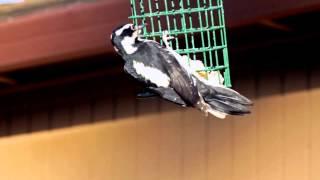 Female Hairy Woodpecker February 5, 2012