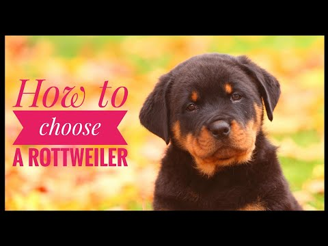 How To Choose A Rottweiler Puppy? | Best Dog Breed For Kids Protection | HYD Pet Entertainment