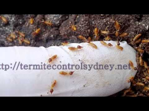 Effective Systems Of Termite Pest Control At Sydney City