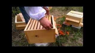 05 27 13 Warre hive inspection after 16 days, moving a comb to the bottom box