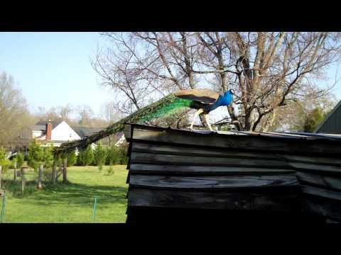 Peacock Invades Chicken Coop