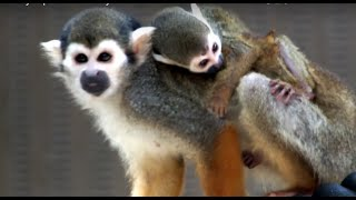 02 Too cute! Baby squirrel monkey and mom.かわいいリスザルの母子。 ...