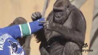 Calgary Zoo Gorillas vs Vancouver Canucks Jersey