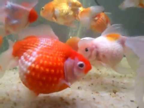 Pearl Goldfish | Theme Aquarium Chennai Imported Crown Pearl Scale Gold Fish In