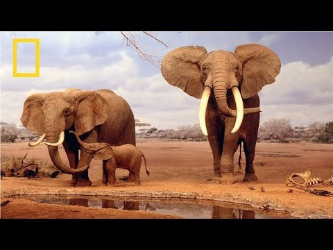 National Geographic | African Elephant | BBC Documentary